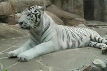Тигры дрессировщиков Багдасаровых были отравлены