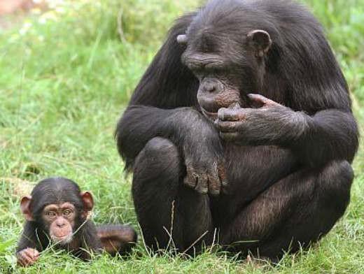 Американские учёные создали вакцину против обезьяньего СПИДа