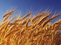 Выращивание ячменя: выбор и хозяйственное назначение