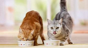 Как выбрать корм для кошки: их виды, преимущества и особенности