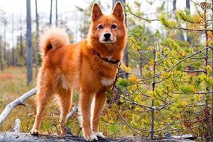 Карело-финская лайка: описание породы и уход