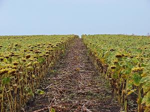 Выращивание подсолнечника: правила посадки и ухода