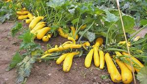 Как правильно выращивать кабачки и рекомендации